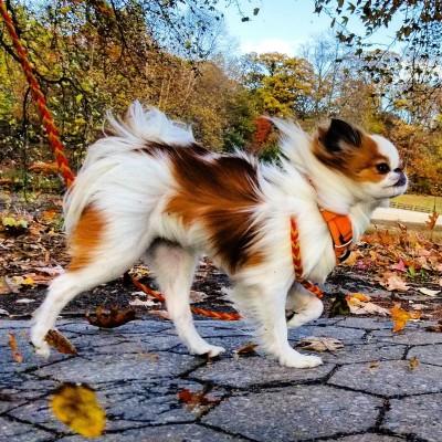 Chelsea Kronick - Chelsea Kronick - Dog Walker in New York City on Romio.com